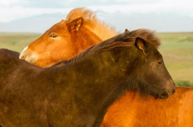 Iceland Horses at nature