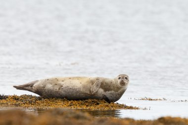 Seal resting on a rock at the coastline