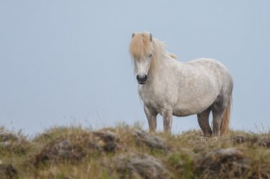 Icelandic horse taken with a fog