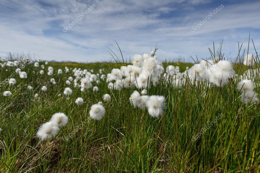 Icelandic cotton grass