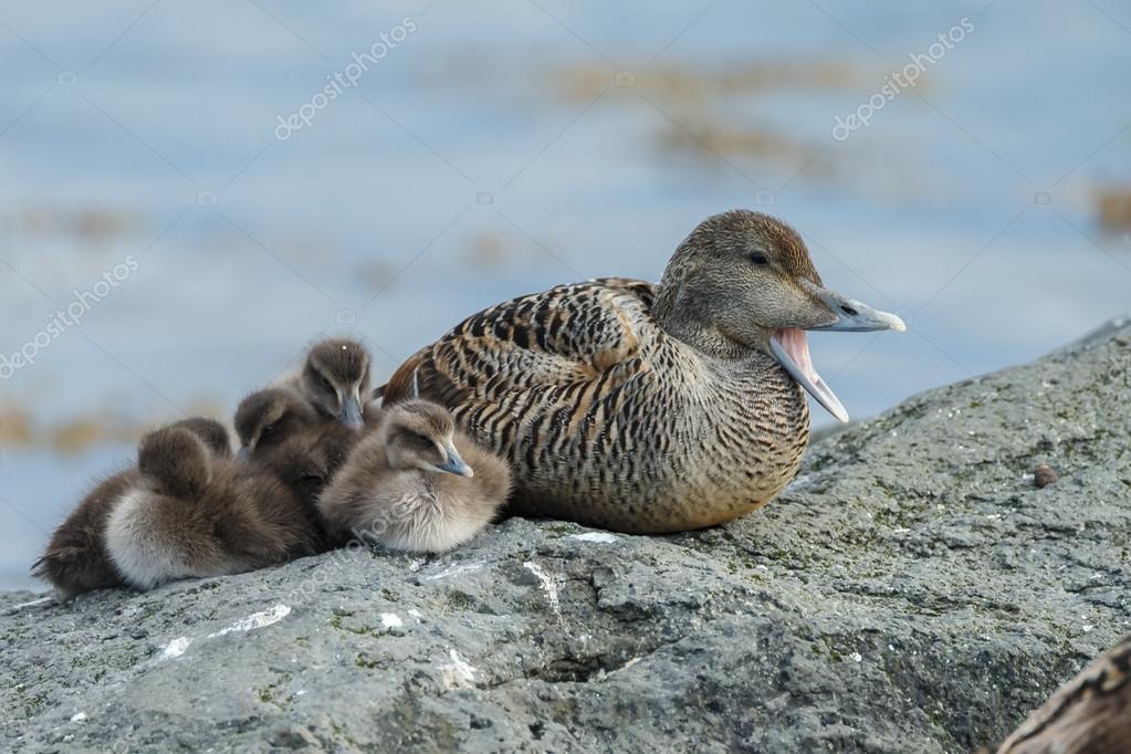 Eider duck with babies