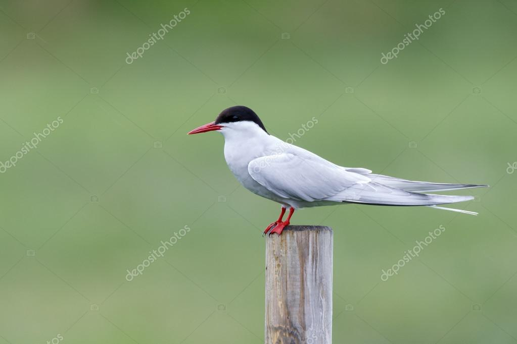 Common Tern or arctic tern