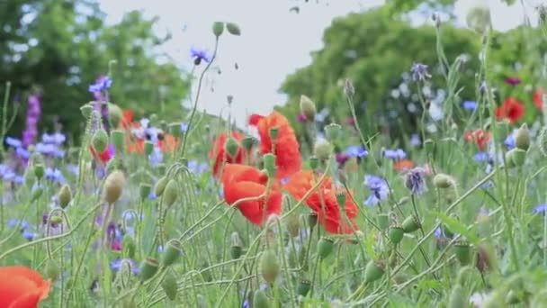 Wild flowers - poppies, cornflowers, daisies in the meadow.
