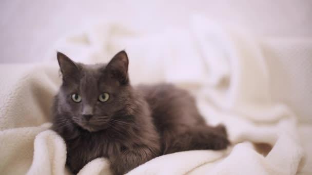 Gyönyörű szürke bolyhos macska alszik a kanapén. Szelektív fókusz.