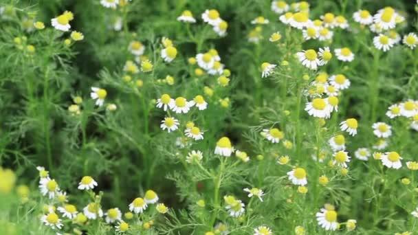 Léčivý heřmánek v letní den. Kvetoucí heřmánek houpající se ve větru. Selektivní zaměření.