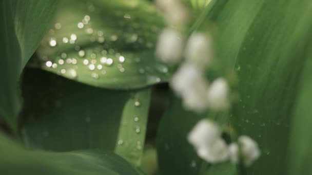 Macro shot of green leaves of lily of the valley. Leaf texture, raindrops.