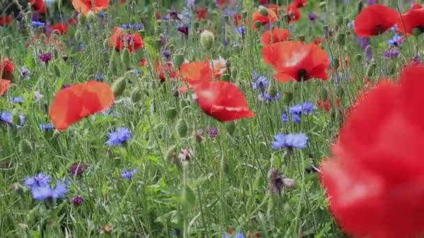 Divoké květiny - máky, chrpy, sedmikrásky na louce.