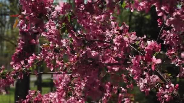 The decorative tree - the paradise apple tree - blooms with beautiful pink leaves. Beautiful spring blossoming branches sway in the wind.