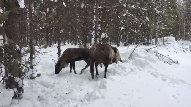 Egy csapat rénszarvas sétál a téli hóerdőben.