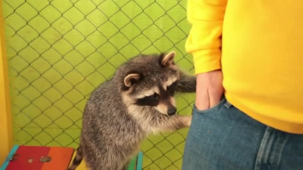 Crab-eating raccoon procyon cancrivorus steals a food tourists in. Characters.