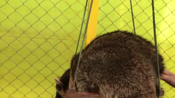 Cute raccoon on swing. Animal character. Striped coon climbs seesaw in a cage