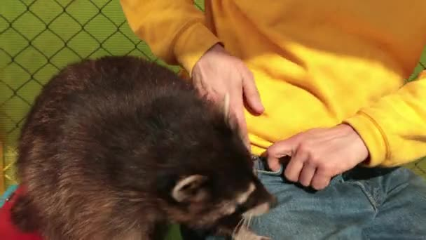 Crab-eating raccoon procyon cancrivorus steals a food from tourists at the zoo.