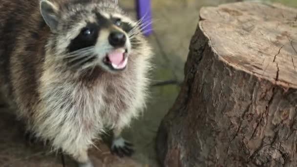North american raccoon. Racoon eat banana at stump. Coon eating a fruit. Animal