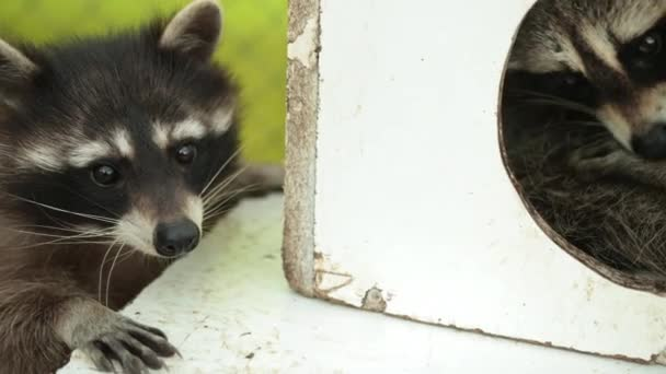 Charming raccoon peeps out of the house. Wildlife care concepts. Natural light.