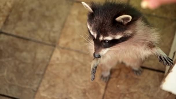 Striped raccoon stands on hind legs asks for food. Grey racoon. Cute coon sit