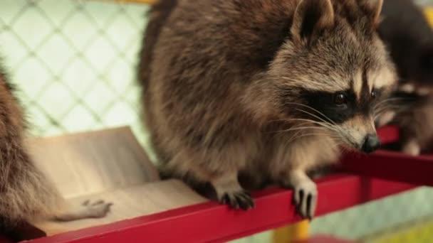 Cute raccoon reading big book. Zoo. Little racoon student studies an textbook