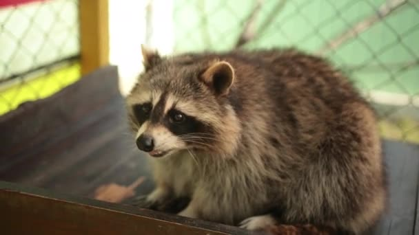 Cute funny raccoon lies on its back, lovely wild furry forest animal. Coon sit.