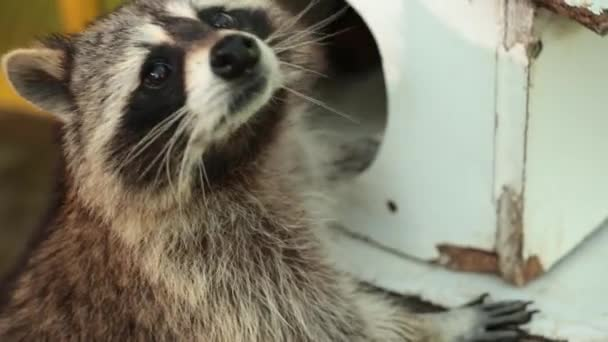 Raccoon in round hole. Head of racoon inside small wooden building shape house