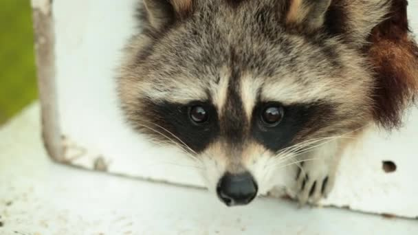 American raccoon. Young curious hungry racoon looking around the house for food