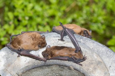Bats at the nesting box in the forest