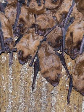 Bat nesting box filled with evening sailors
