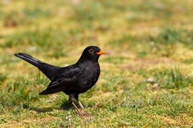 Blackbird in the garden on the lawn