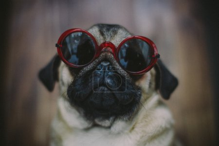 Pug puppy in sunglasses