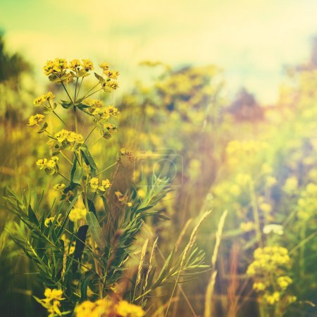 Golden evening on the summer meadow