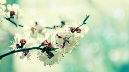 Photo for Apricot tree flower, natural abstract background - Royalty Free Image