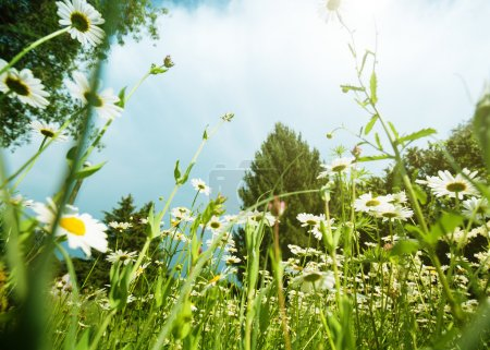 Photo for Daisy meadow, natural landscape - Royalty Free Image