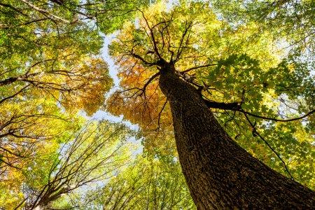 Photo pour Arbres de forêt d'automne. nature vert bois lumière du soleil milieux - image libre de droit