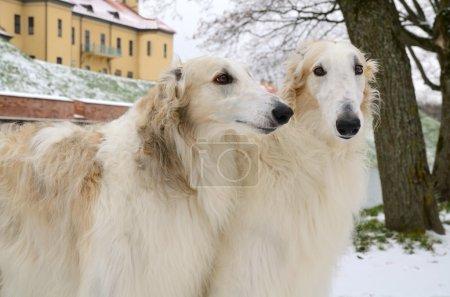 Wite russian borzoi dogs
