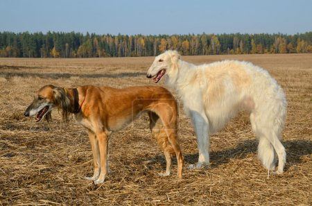 Russian wolfhound and brown Saluki