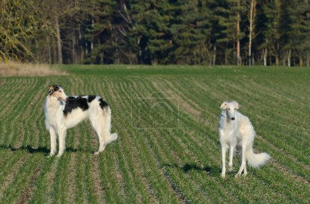 Russian wolfhound dogs