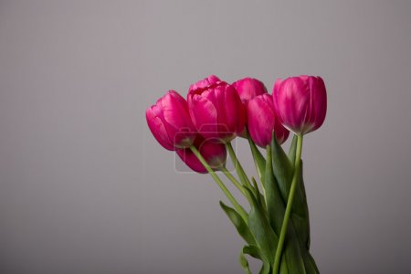 Fresh pink tulips over gray background