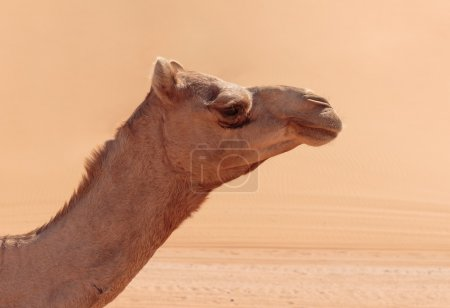 Alone camel in desert