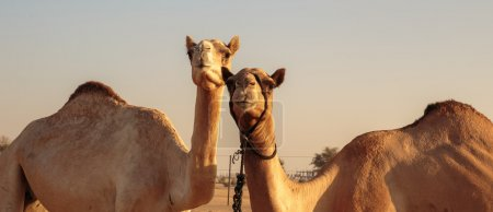 Camels in the desert,close up