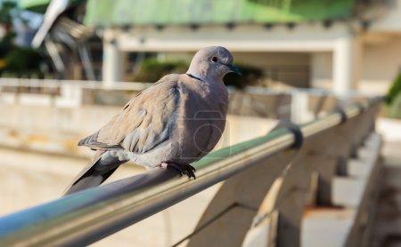 Pigeon sitting on fence