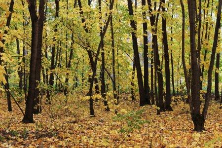 Photo pour Paysage d'automne coloré forêt - image libre de droit