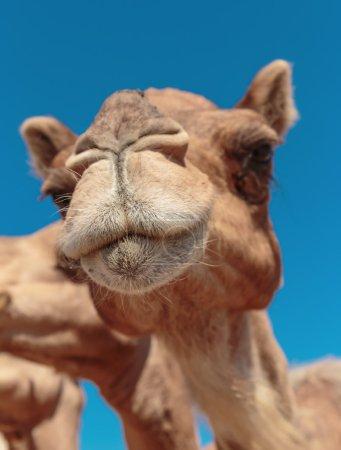 Close-up face of a camel.