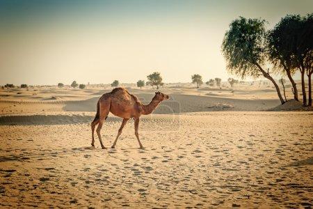 Camel animal in desert