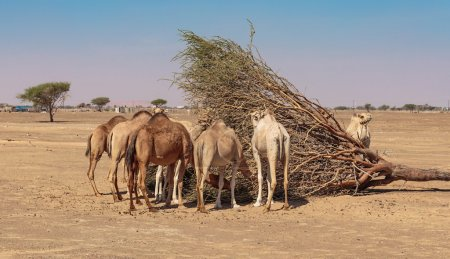 group of camels in the desert