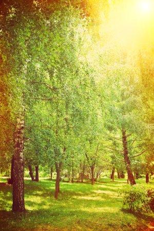 Photo pour Bouleaux dans le parc instagram stile - image libre de droit