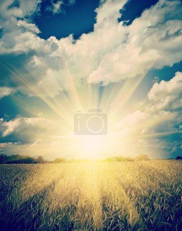 Sunrise on the sumerly wheat field instagram stile