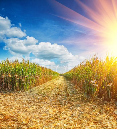 Field with maize corn
