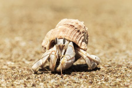 Photo for Hermit Crab in a screw shell close-up - Royalty Free Image