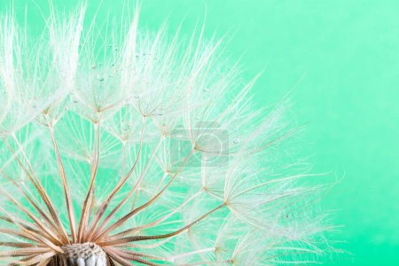 Photo for Dandelion seeds in the green background - Royalty Free Image