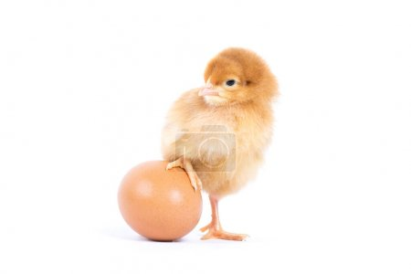 Photo for Little chicken isolated on white - Royalty Free Image