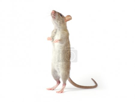 Rat animal isolated