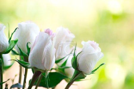 Photo pour Roses blanches fraîches, fleurs isolées sur fond vert - image libre de droit